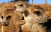 Animal PICS! Guess The Animals Answers, Solutions & Cheats: Animals Level 51-60